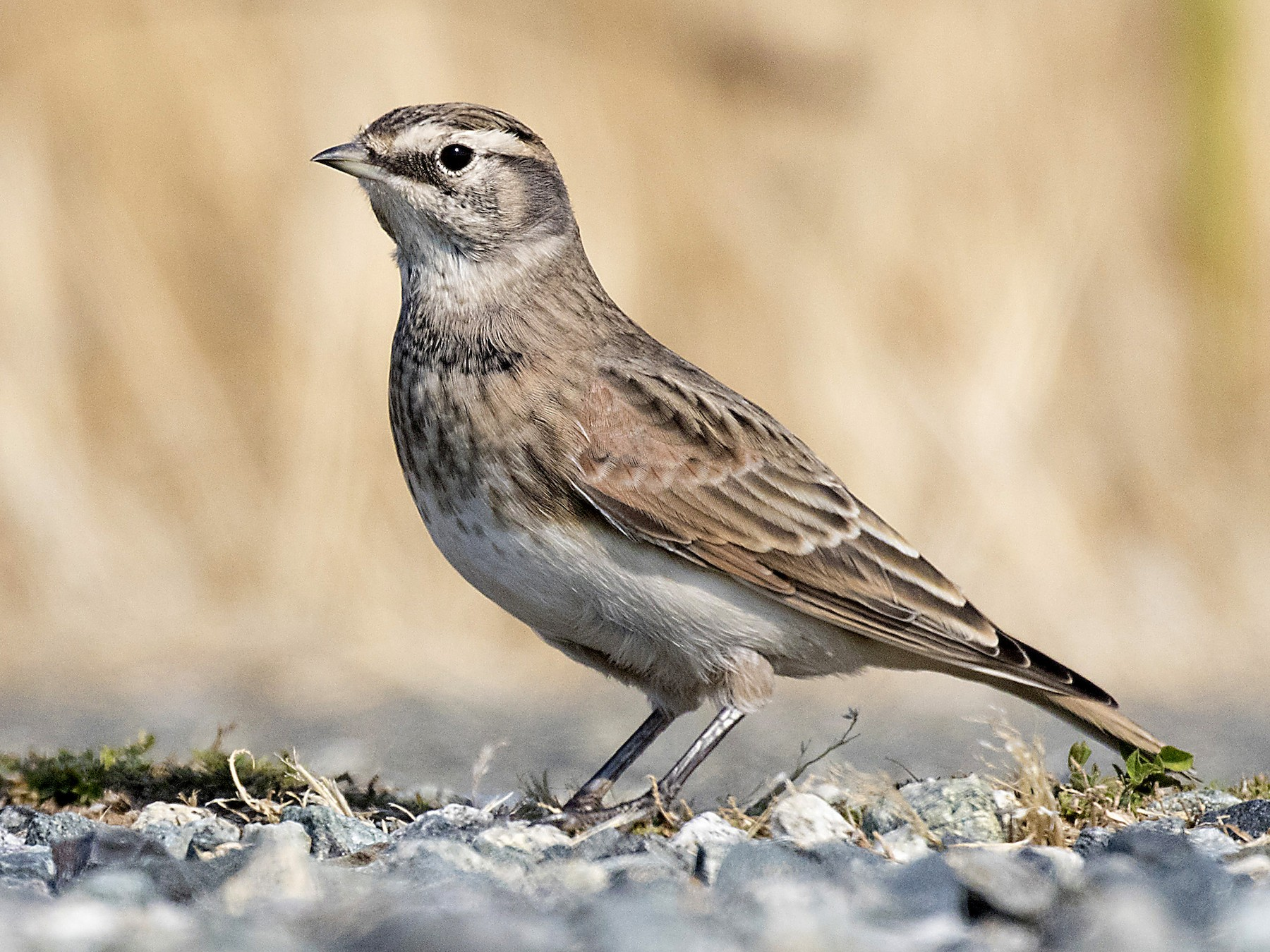Horned Lark - Peter Candido