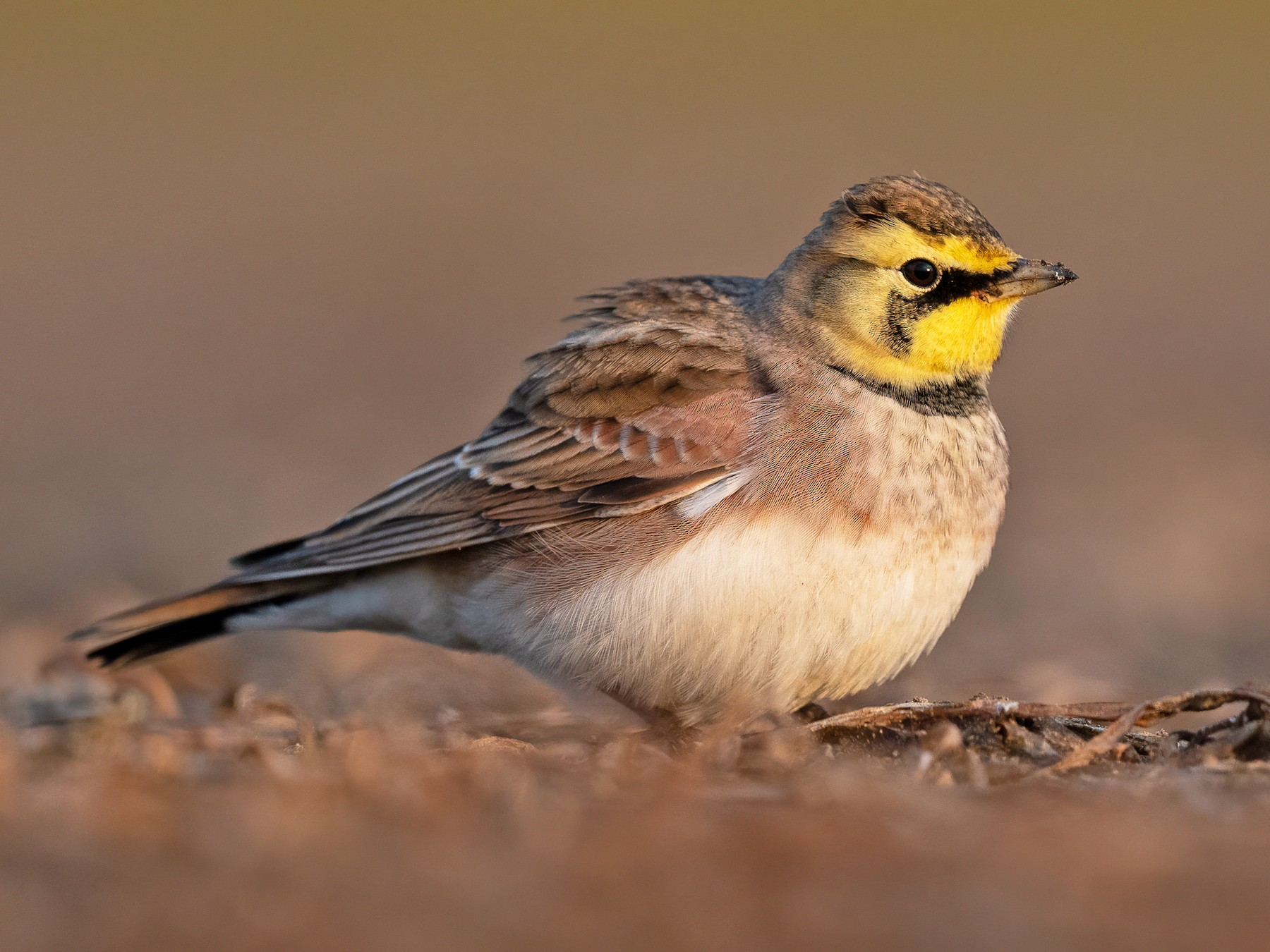 Horned Lark - Kyle Tansley