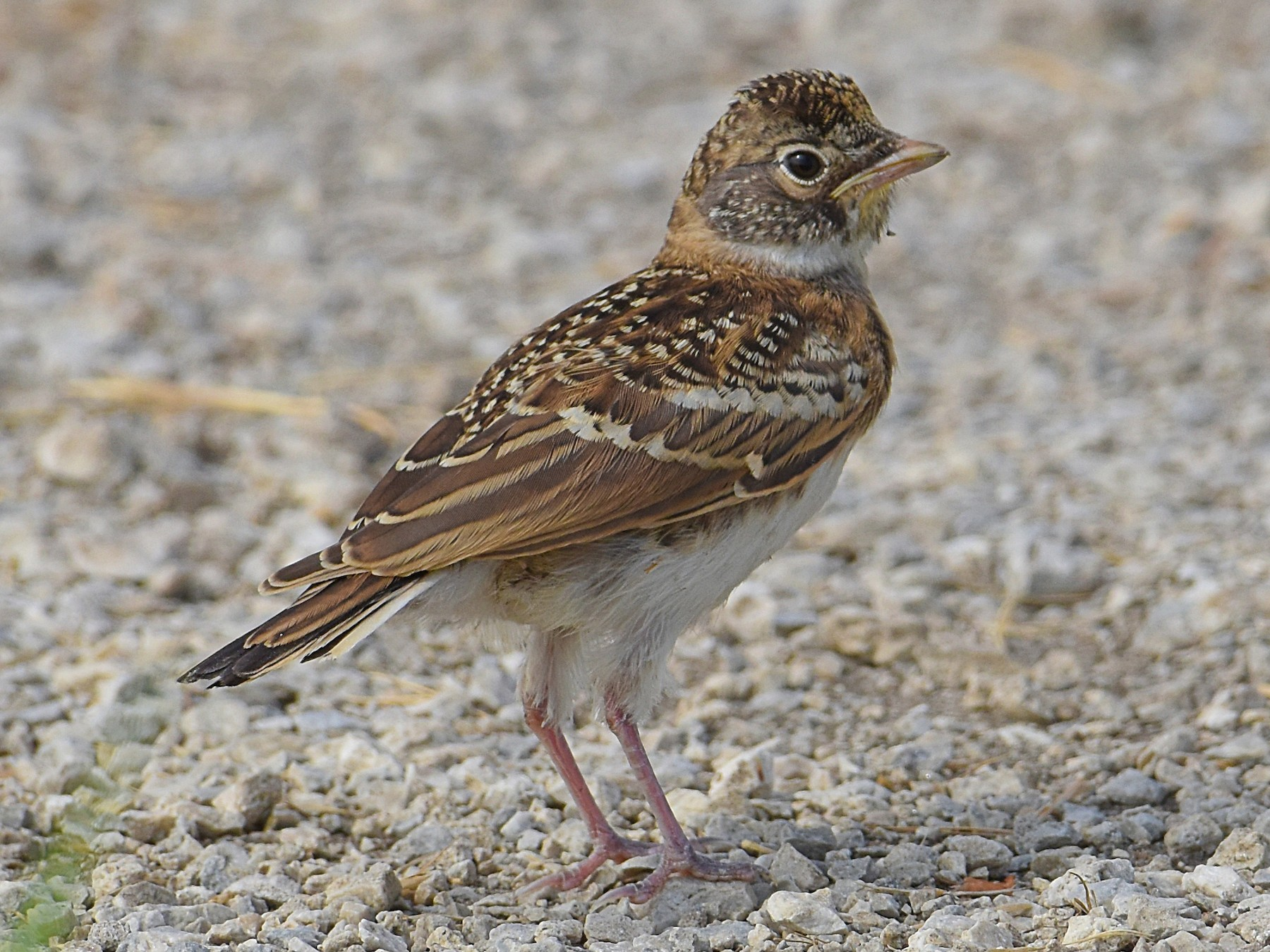 Horned Lark - Brian Hicks