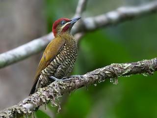 - Stripe-cheeked Woodpecker