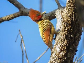 - Kaempfer's Woodpecker
