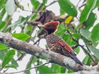 - Rufous-headed Woodpecker