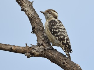 - Brown-capped Woodpecker