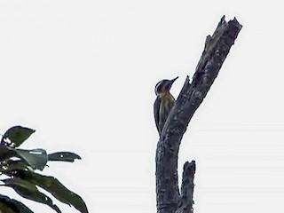 - Sulu Woodpecker