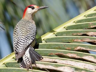 - West Indian Woodpecker