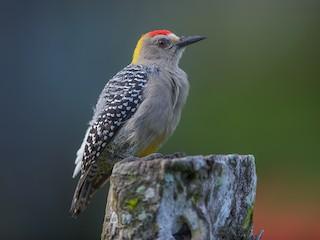 - Hoffmann's Woodpecker