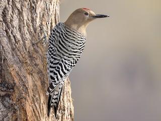 - Gila Woodpecker