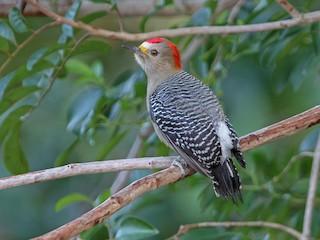- Yucatan Woodpecker