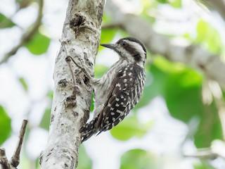 - Sunda Woodpecker