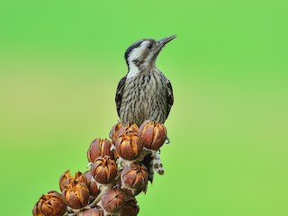 - Gray-capped Woodpecker