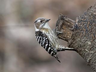 - Pygmy Woodpecker