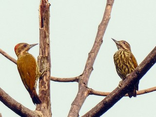- Melancholy Woodpecker
