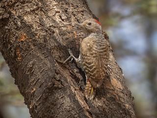 - Little Gray Woodpecker