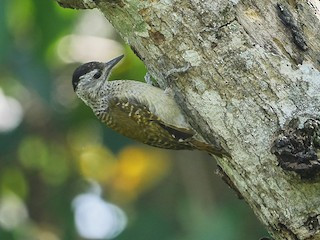 - Speckle-breasted Woodpecker