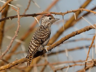 - Cardinal Woodpecker