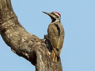 - Bearded Woodpecker