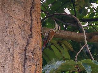 - Fire-bellied Woodpecker