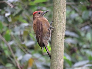 - Smoky-brown Woodpecker
