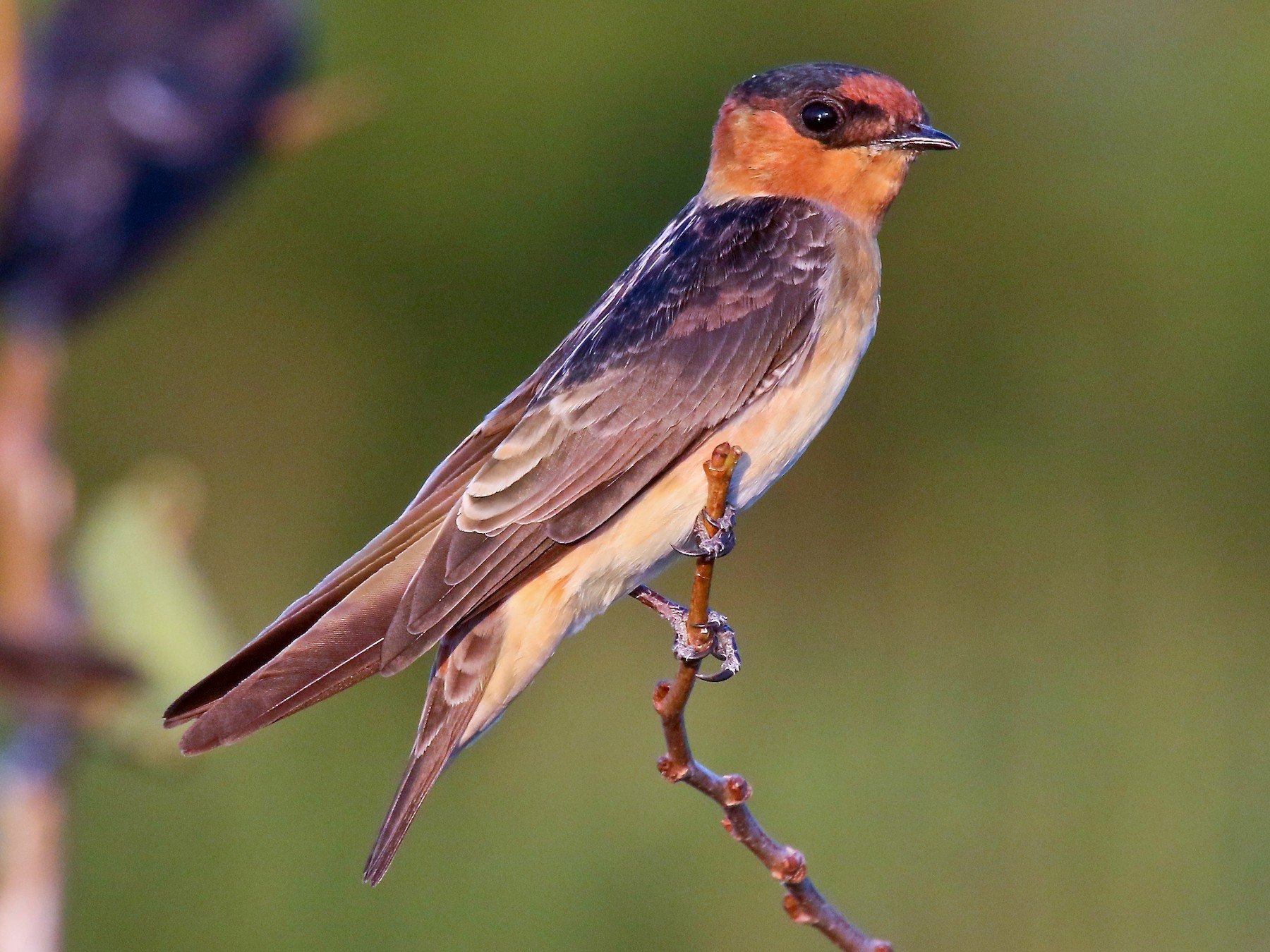 Cave Swallow - Arman Moreno