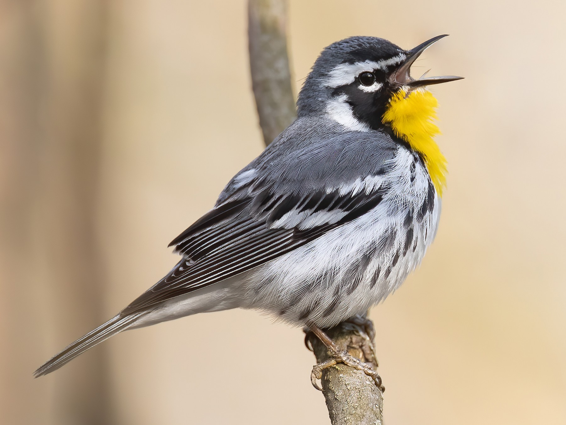 Yellow-throated Warbler - Ryan Sanderson