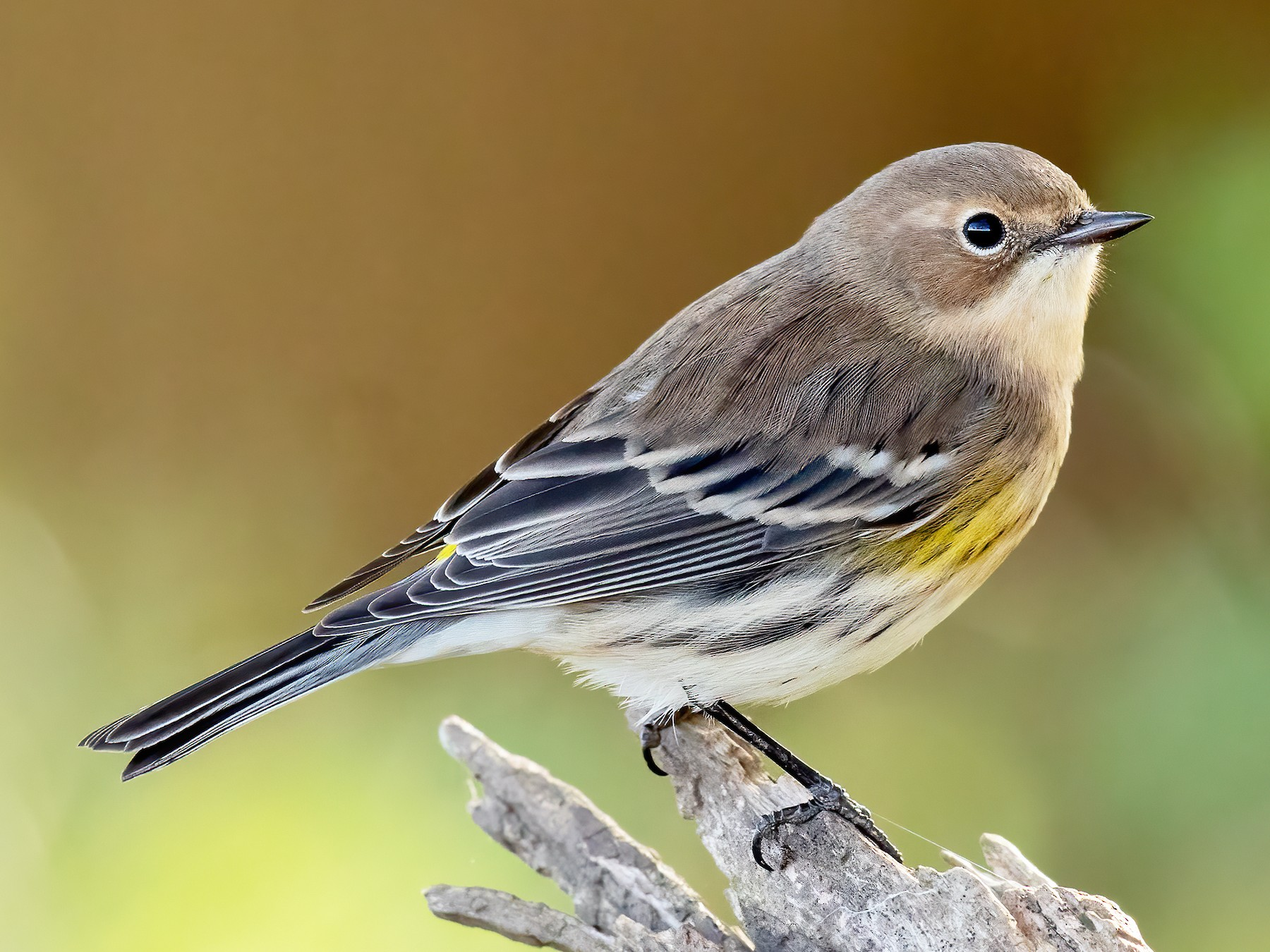 Yellow-rumped Warbler - Brad Imhoff