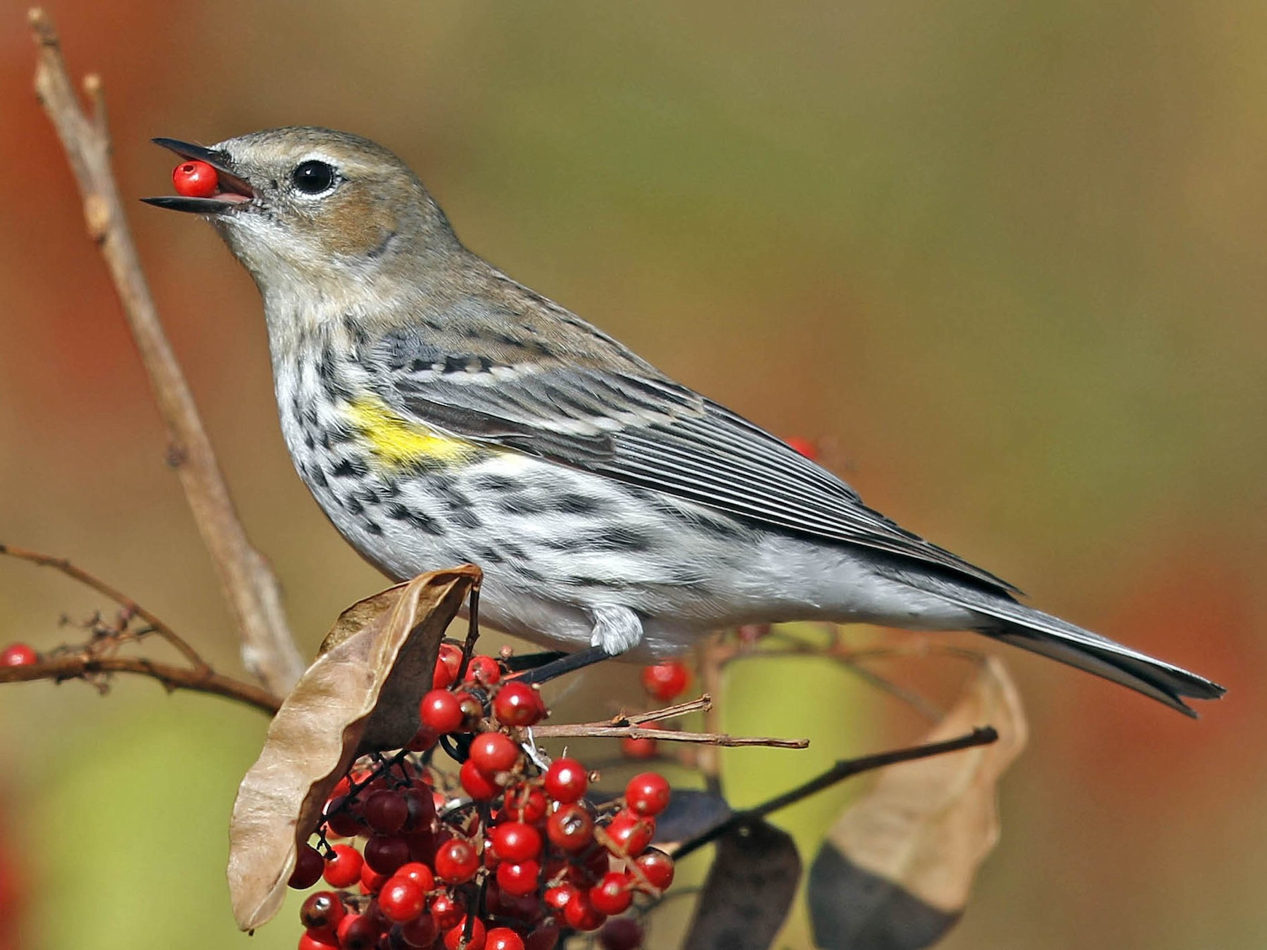 Yellow-rumped Warbler - Tammy McQuade