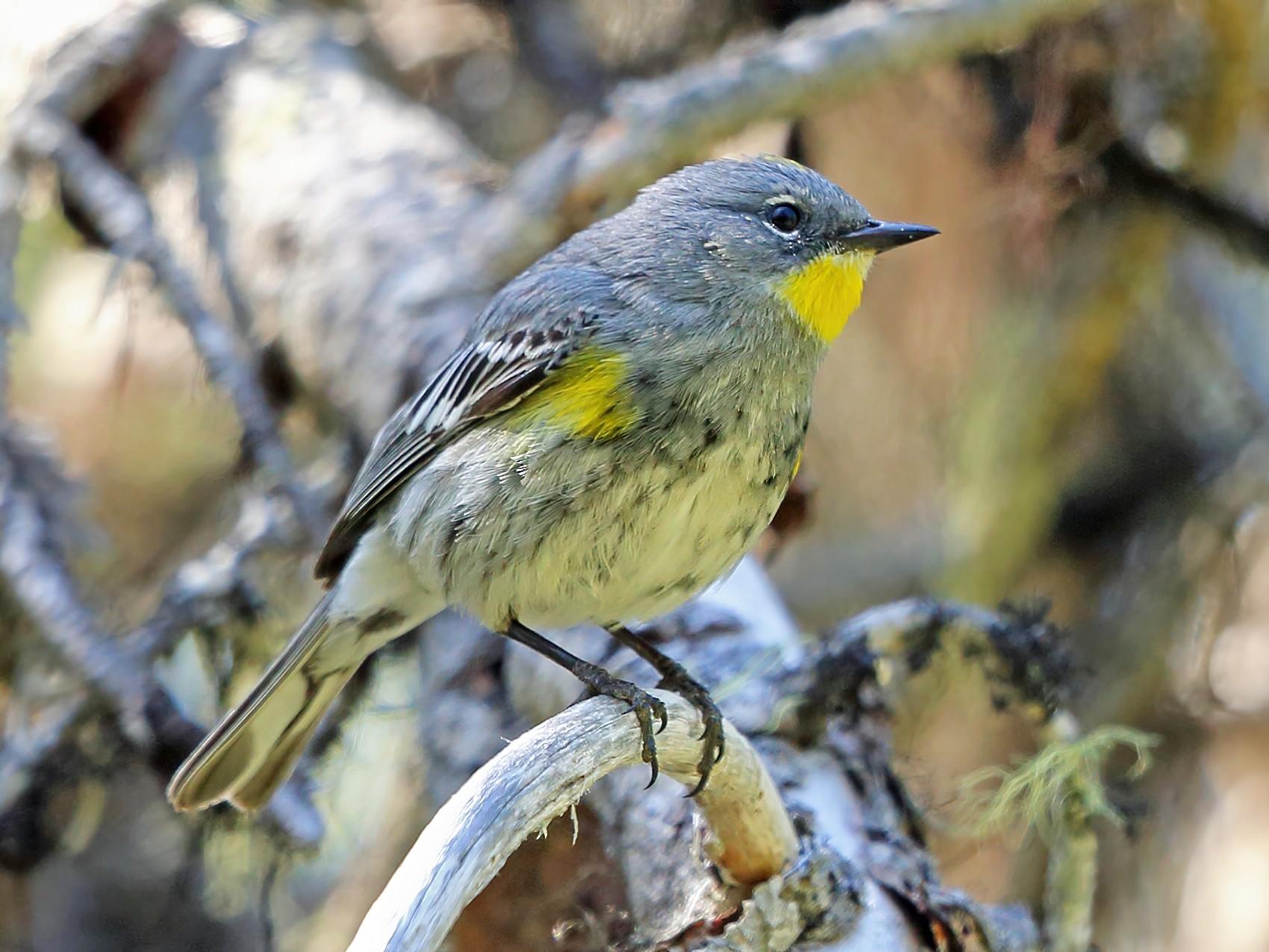 Yellow-rumped Warbler - Nigel Voaden