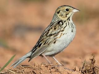 - Baird's Sparrow