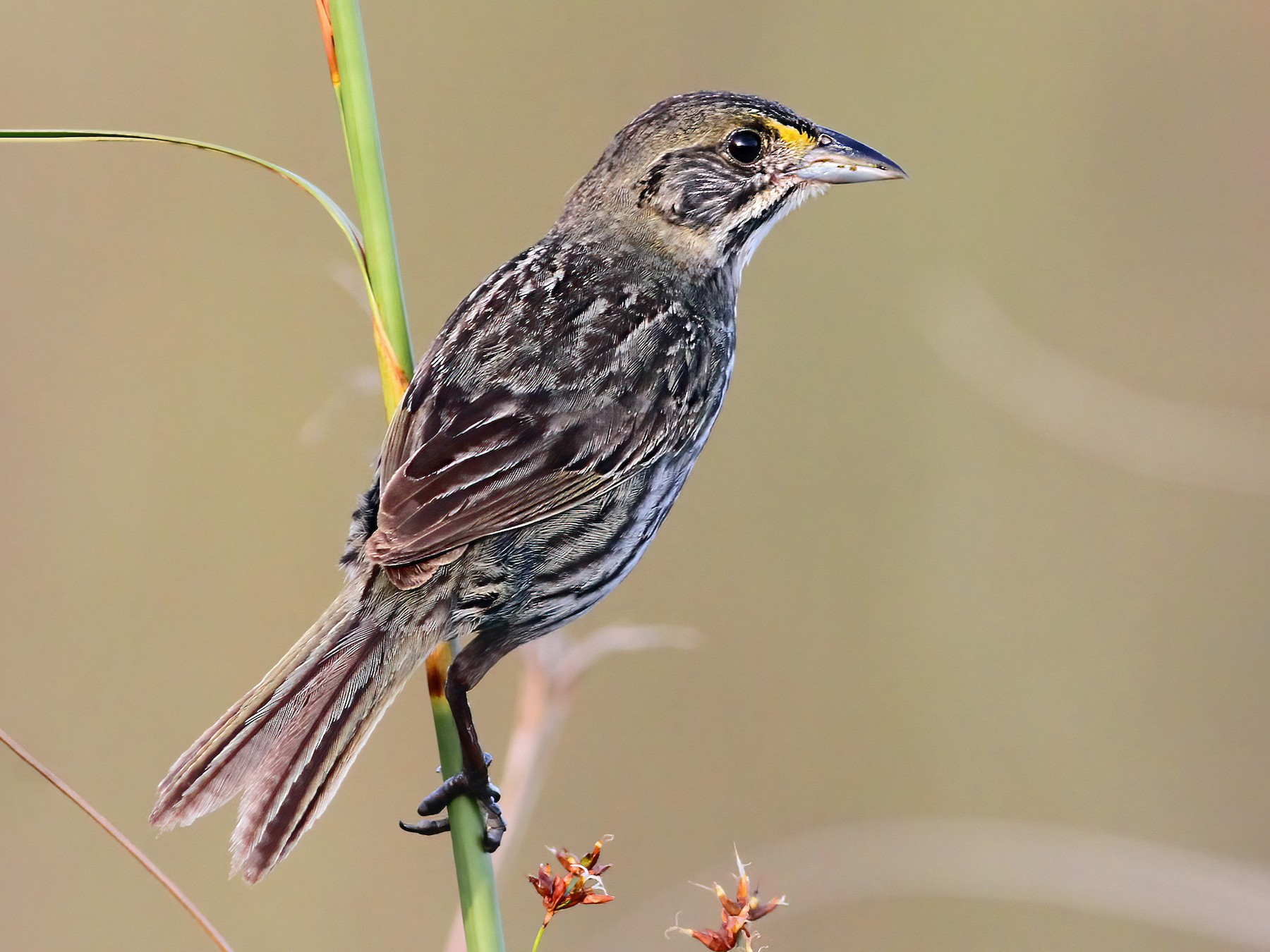 Seaside Sparrow - Andrew Spencer