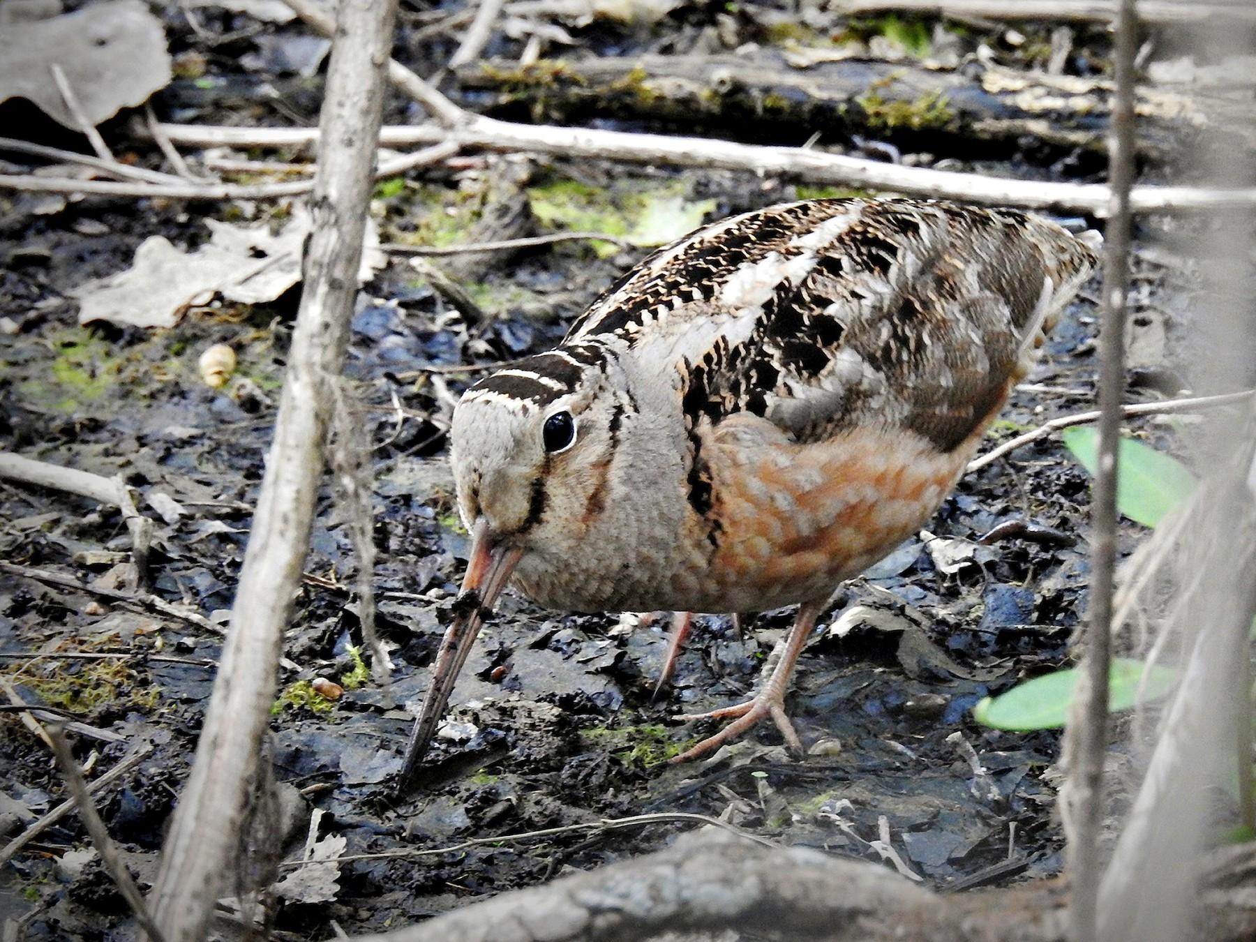 American Woodcock - Chao