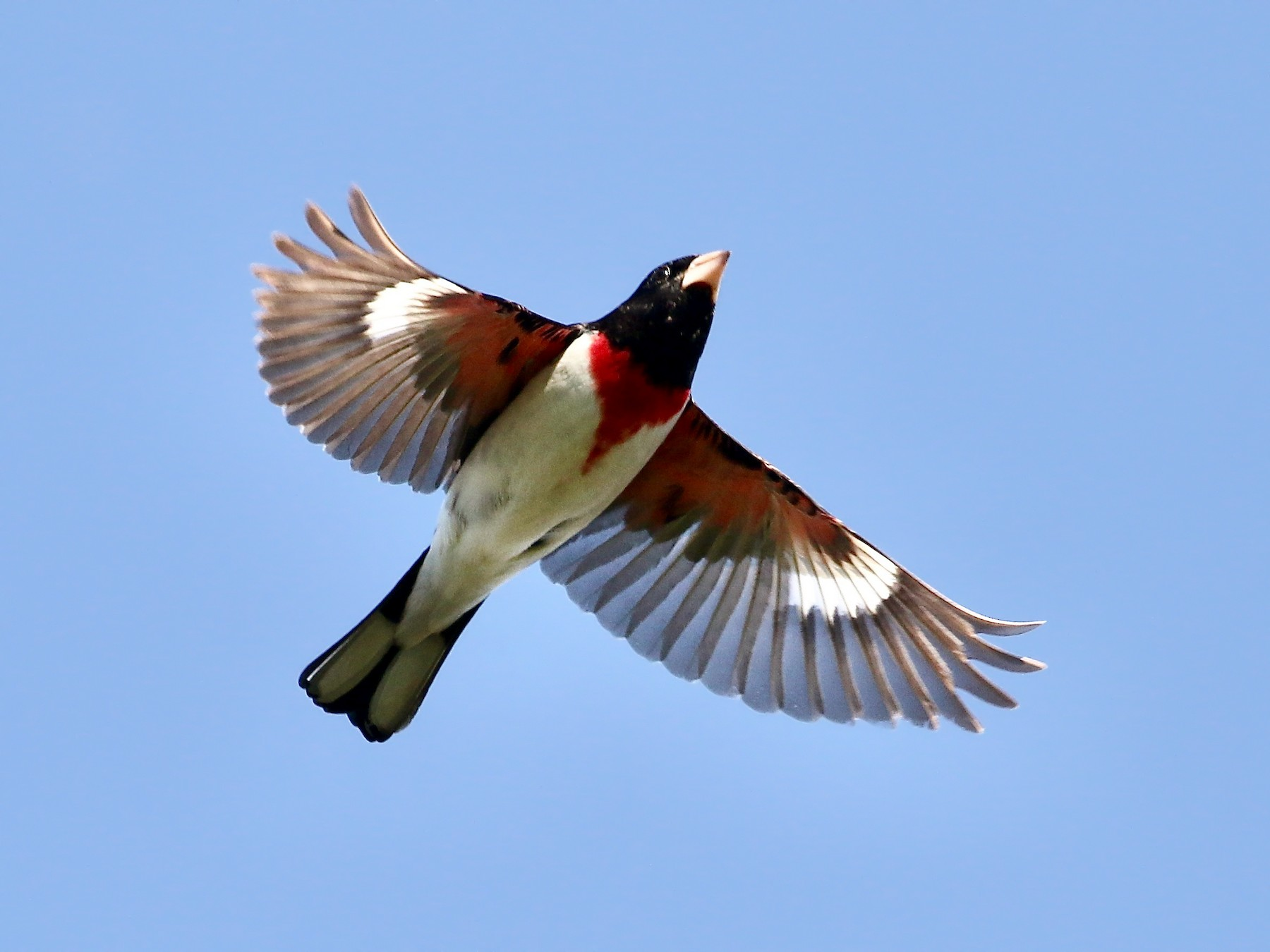 Rose-breasted Grosbeak - Karl Bardon