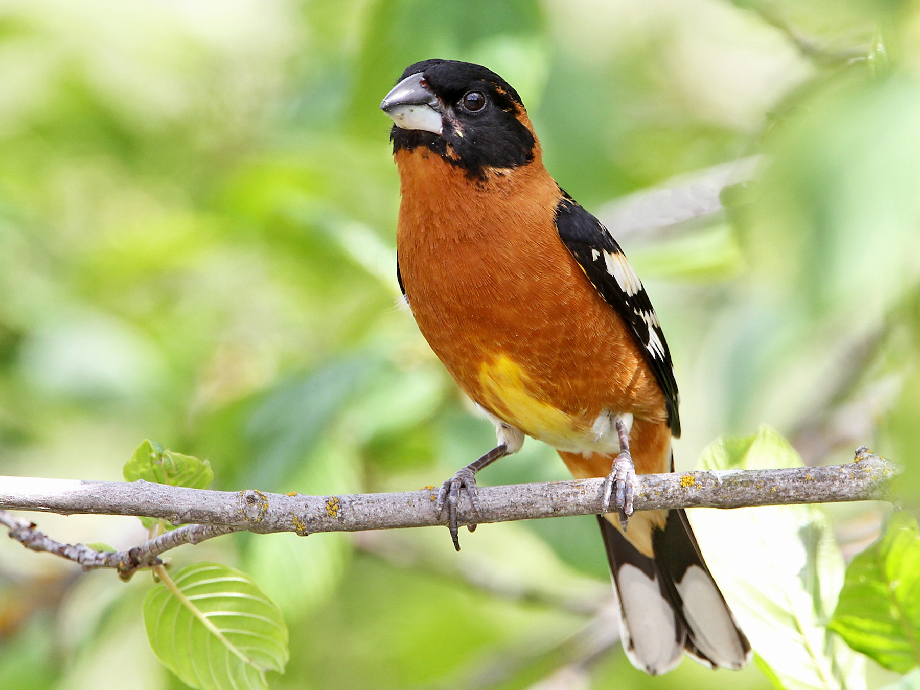 Black-headed Grosbeak - Marlene Cashen
