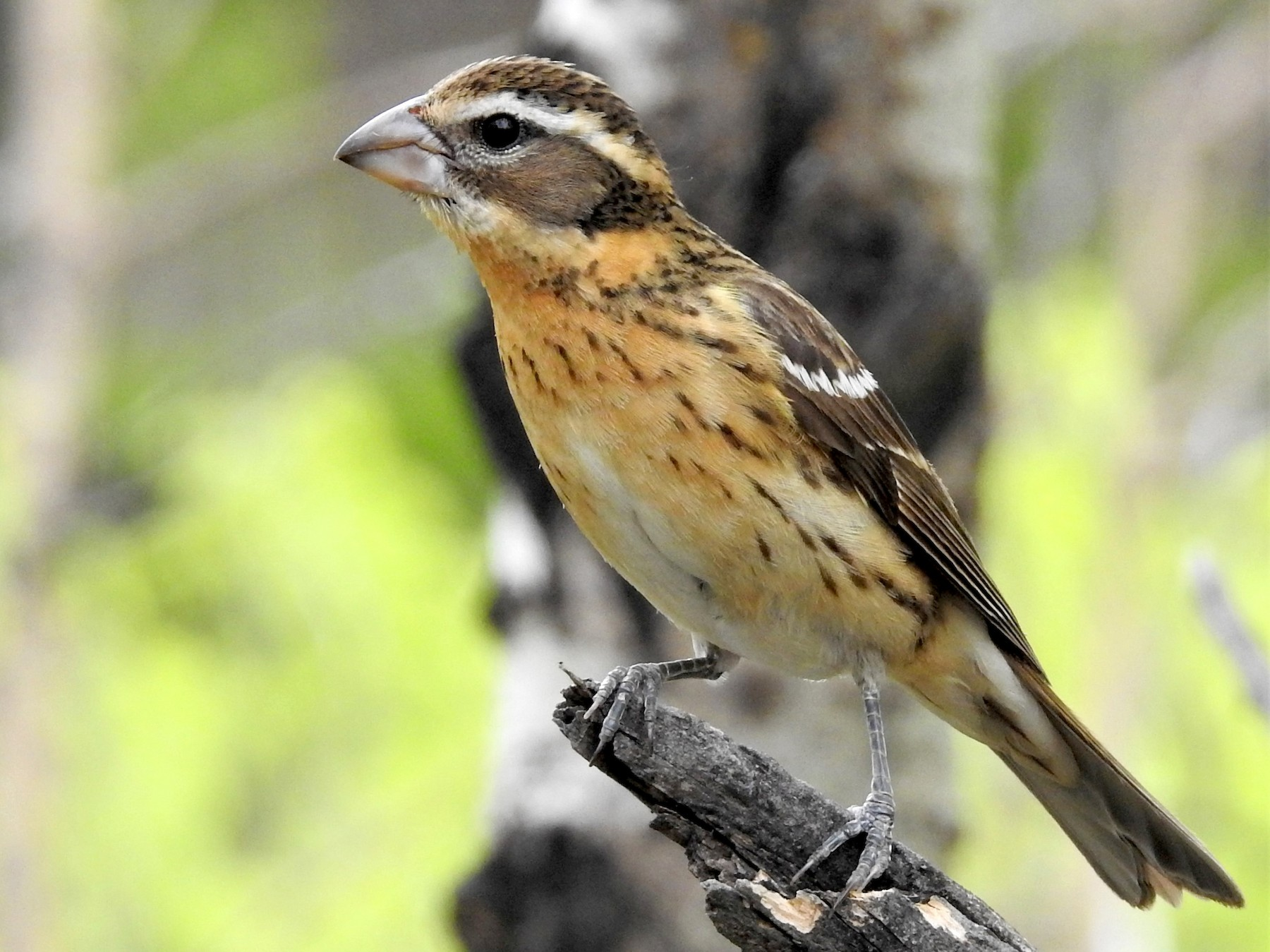 Black-headed Grosbeak - Diane Stinson