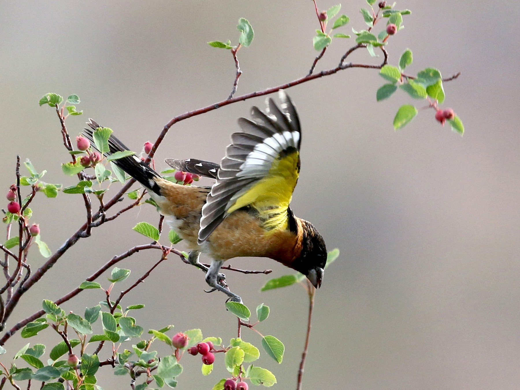 Black-headed Grosbeak - Jay McGowan