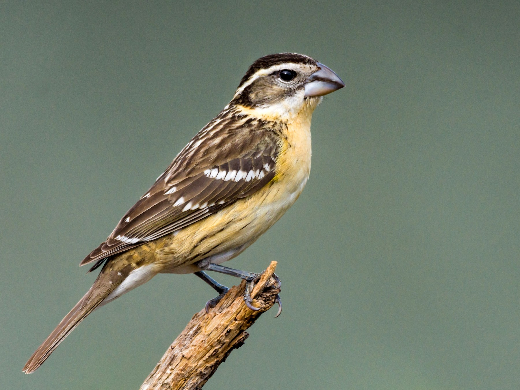 Black-headed Grosbeak - Jim Merritt
