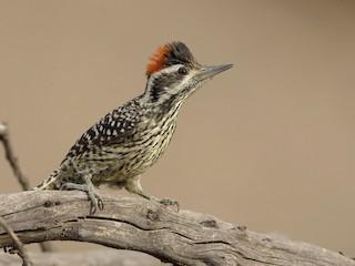 - Striped Woodpecker