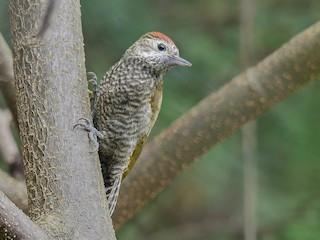 - Dot-fronted Woodpecker