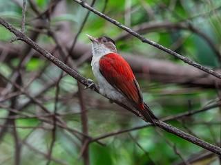- Scarlet-backed Woodpecker