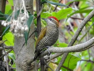 - Bar-bellied Woodpecker