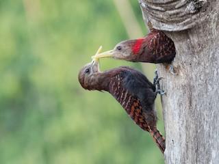 - Bay Woodpecker