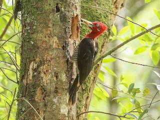 - Robust Woodpecker