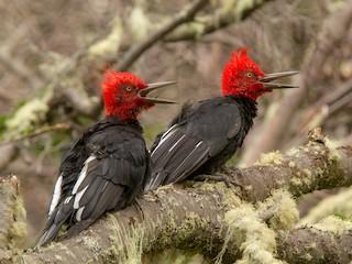 - Magellanic Woodpecker