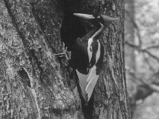 - Ivory-billed Woodpecker (Northern)