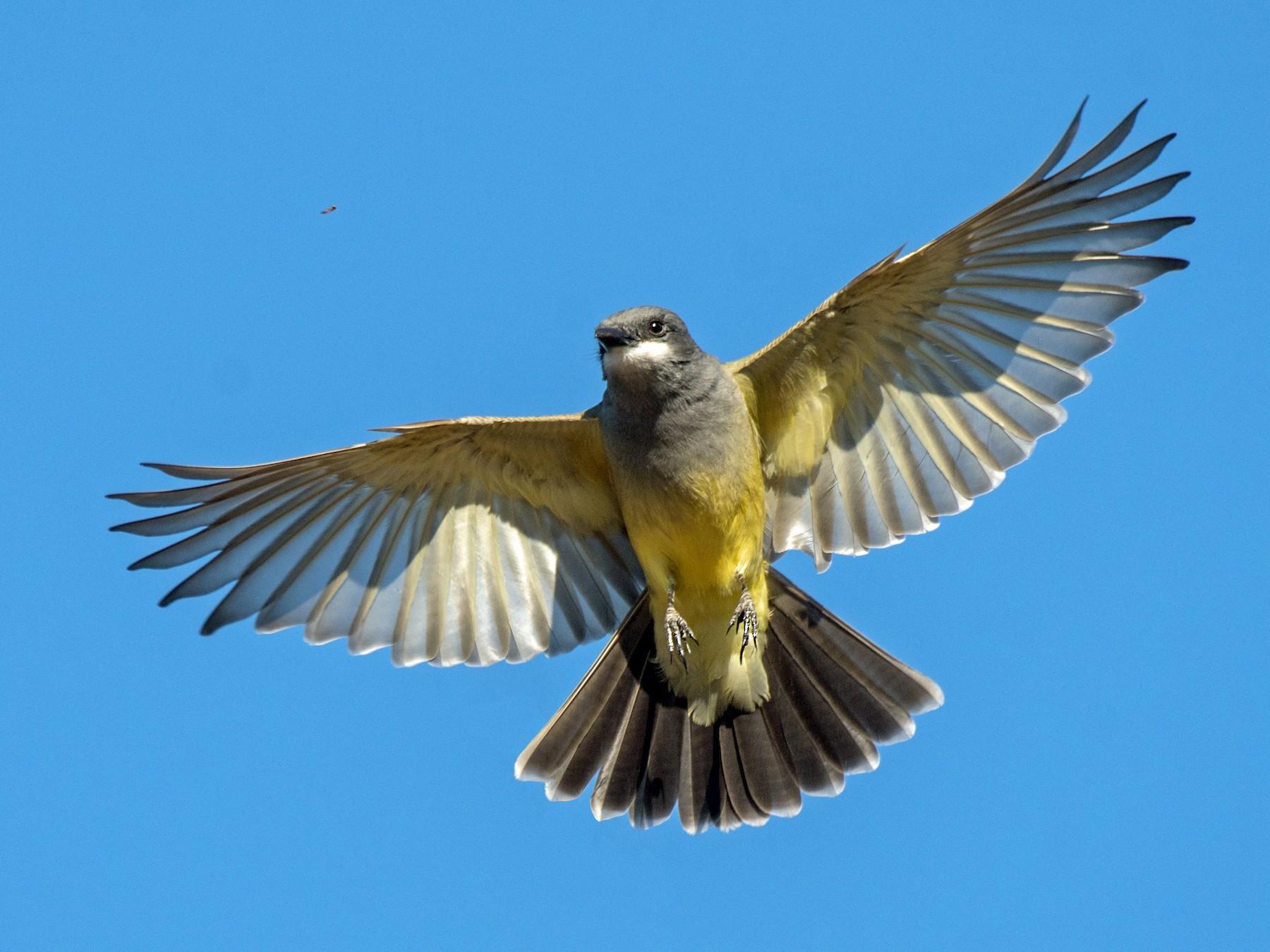 Cassin's Kingbird - Alison Davies
