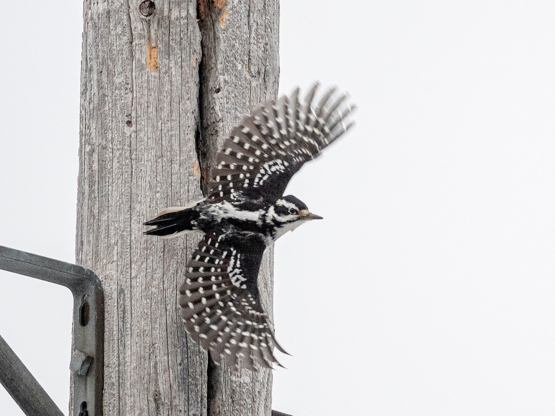 Hairy Woodpecker - Serg Tremblay