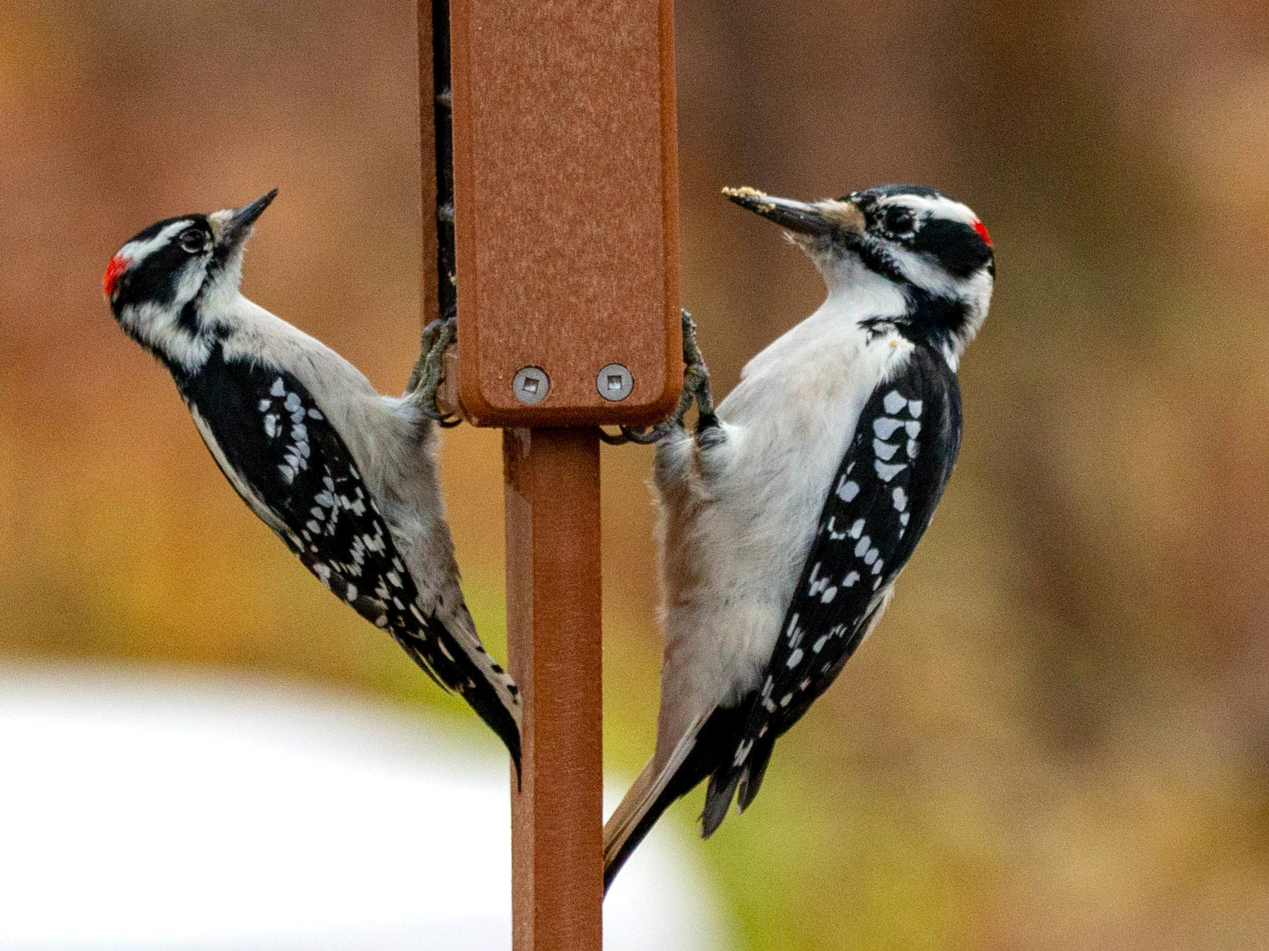 Hairy Woodpecker - Pat Schiller