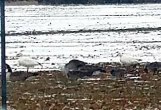 Snow Goose, ML309212691