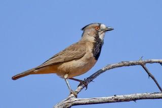 - Crested Bellbird