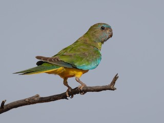 - Scarlet-chested Parrot