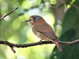 - Rufous-necked Puffbird